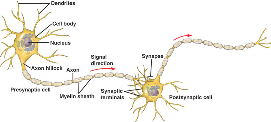 Structure function the nervous system anatomy and more a diagram of the neuron highlighting the chain structure between the axon and dendrite ccuart Gallery